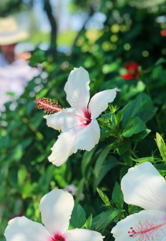 selective focus photo of white hibiscus