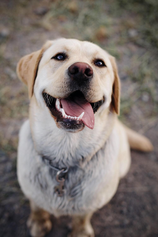 adult yellow Labrador retriever