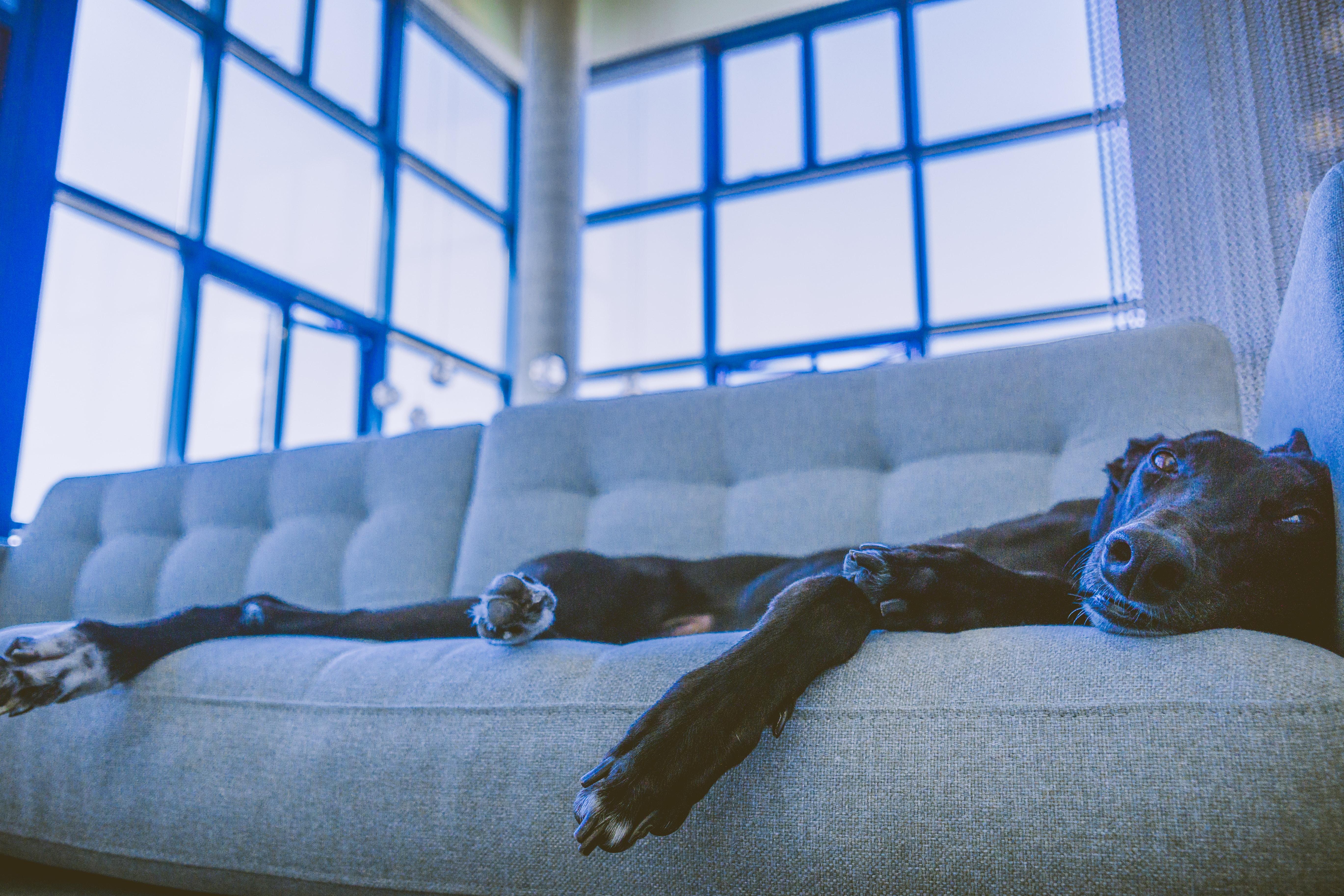 short-coated black dog lying on gray sofa