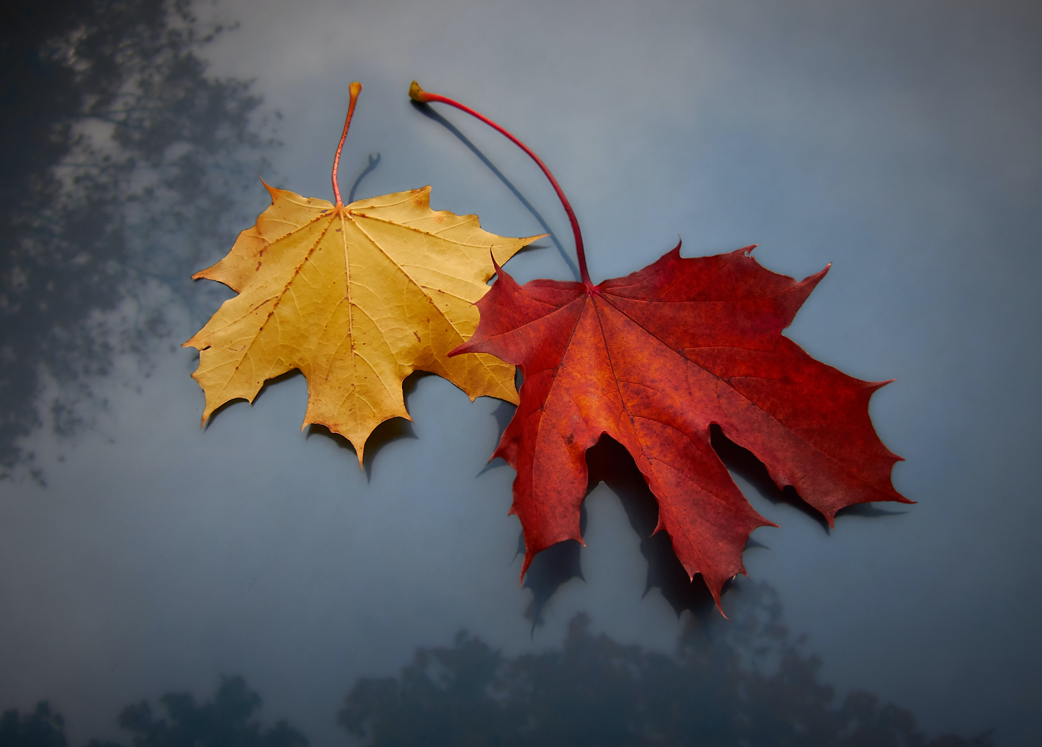 red and yellow maple leaves