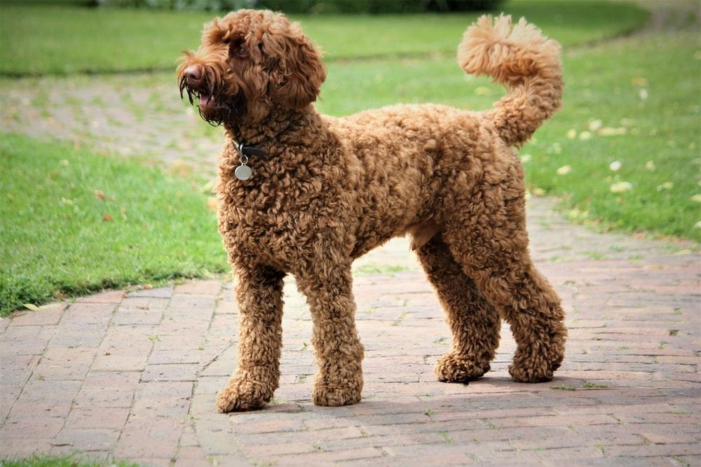 short-coated brown dog facing sideways