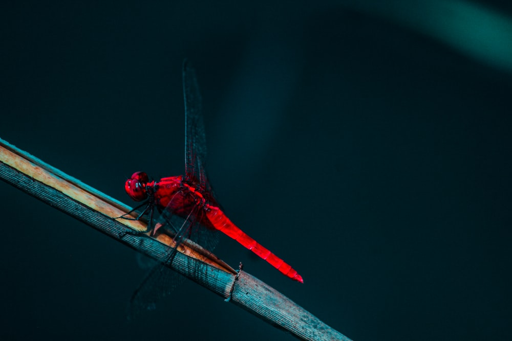 red dragonfly perched on the gray branch