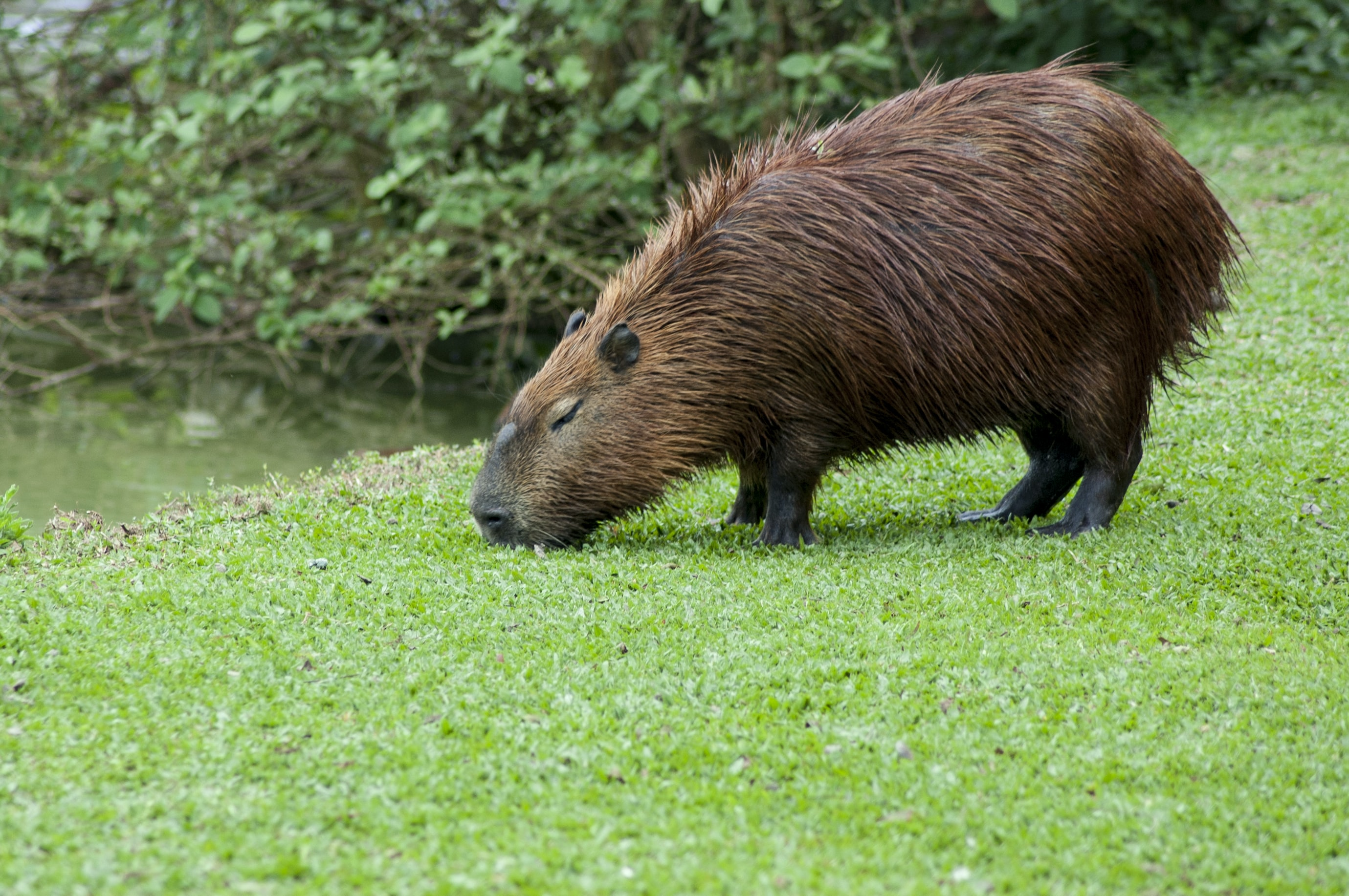 beaver eating grass