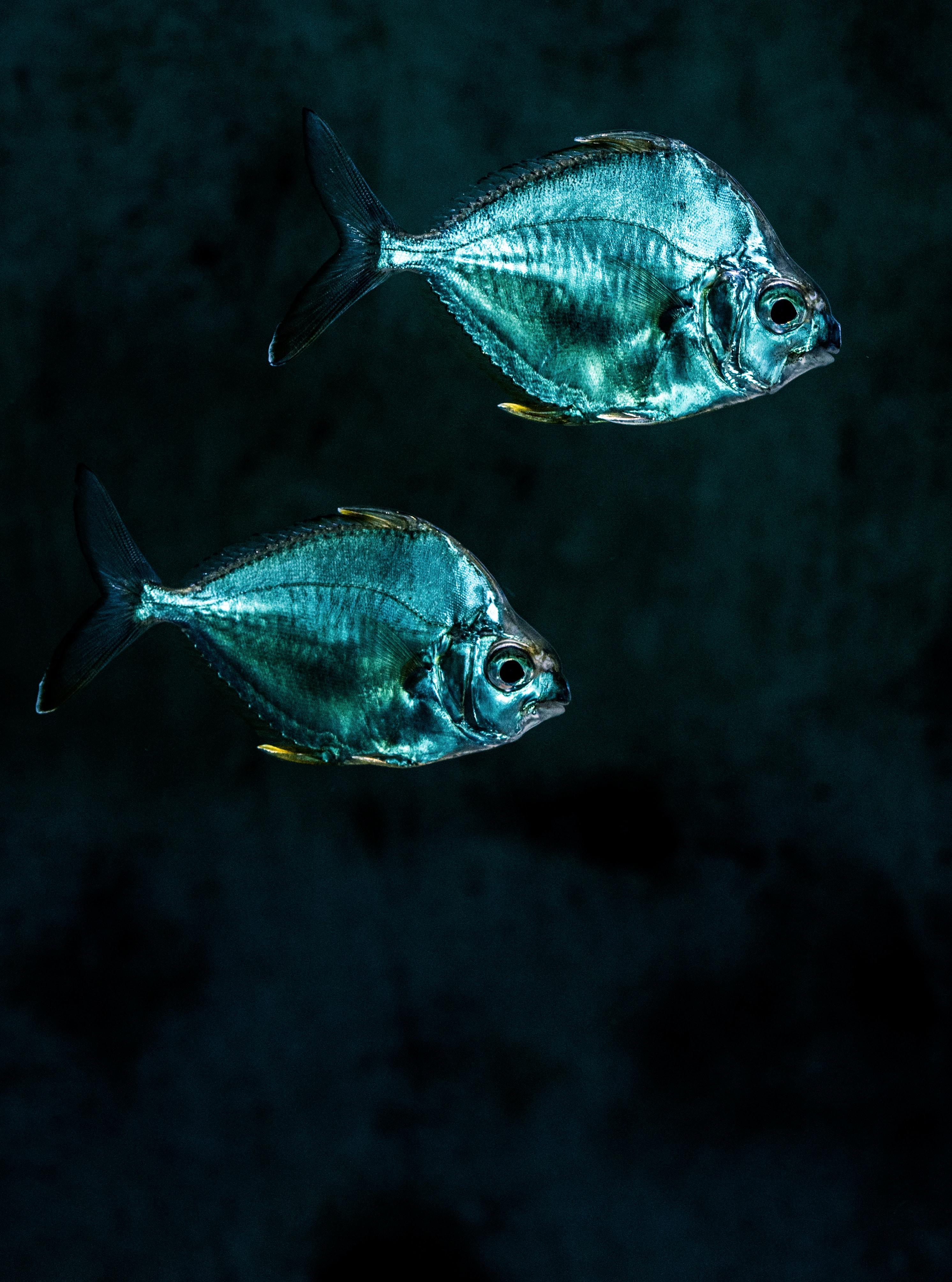 two gray pet fish