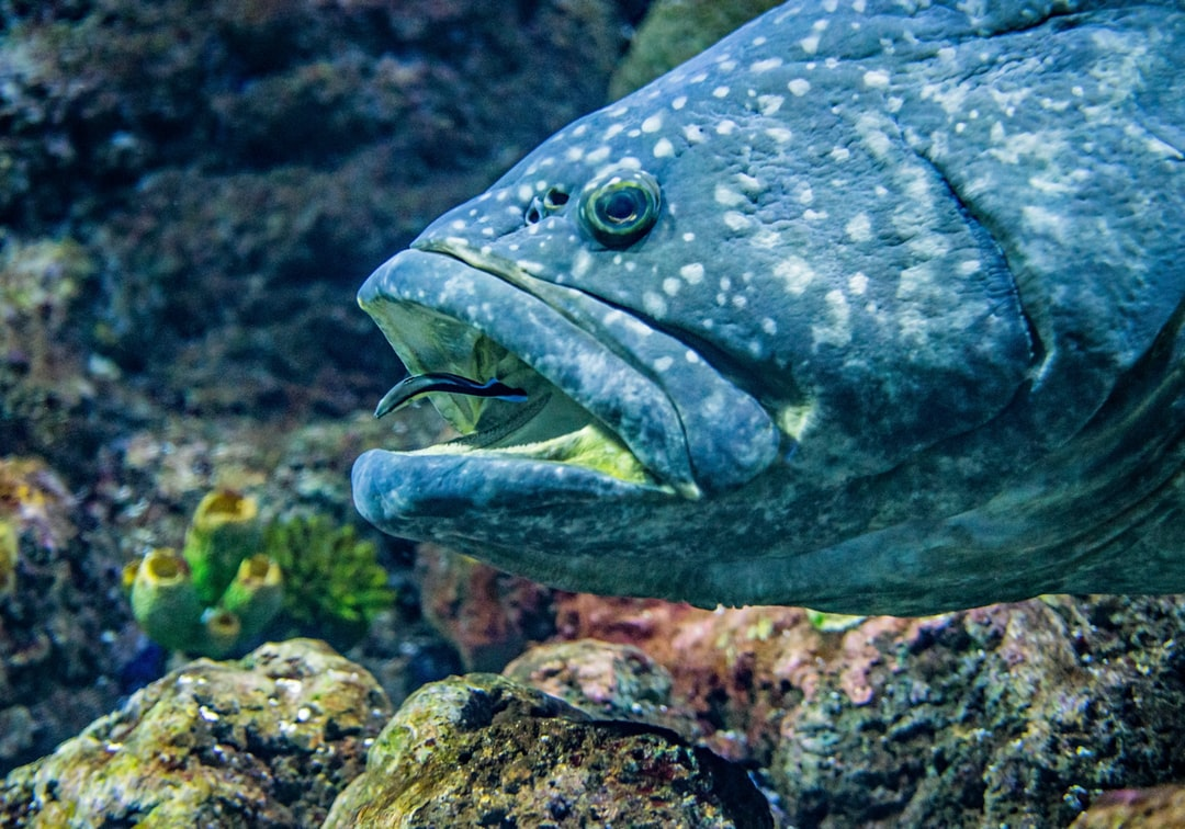 A Cleaner Wrasse cleans the mouth of a huge Queensland Groper (grouper). at the Cairns aquarium, Australia.