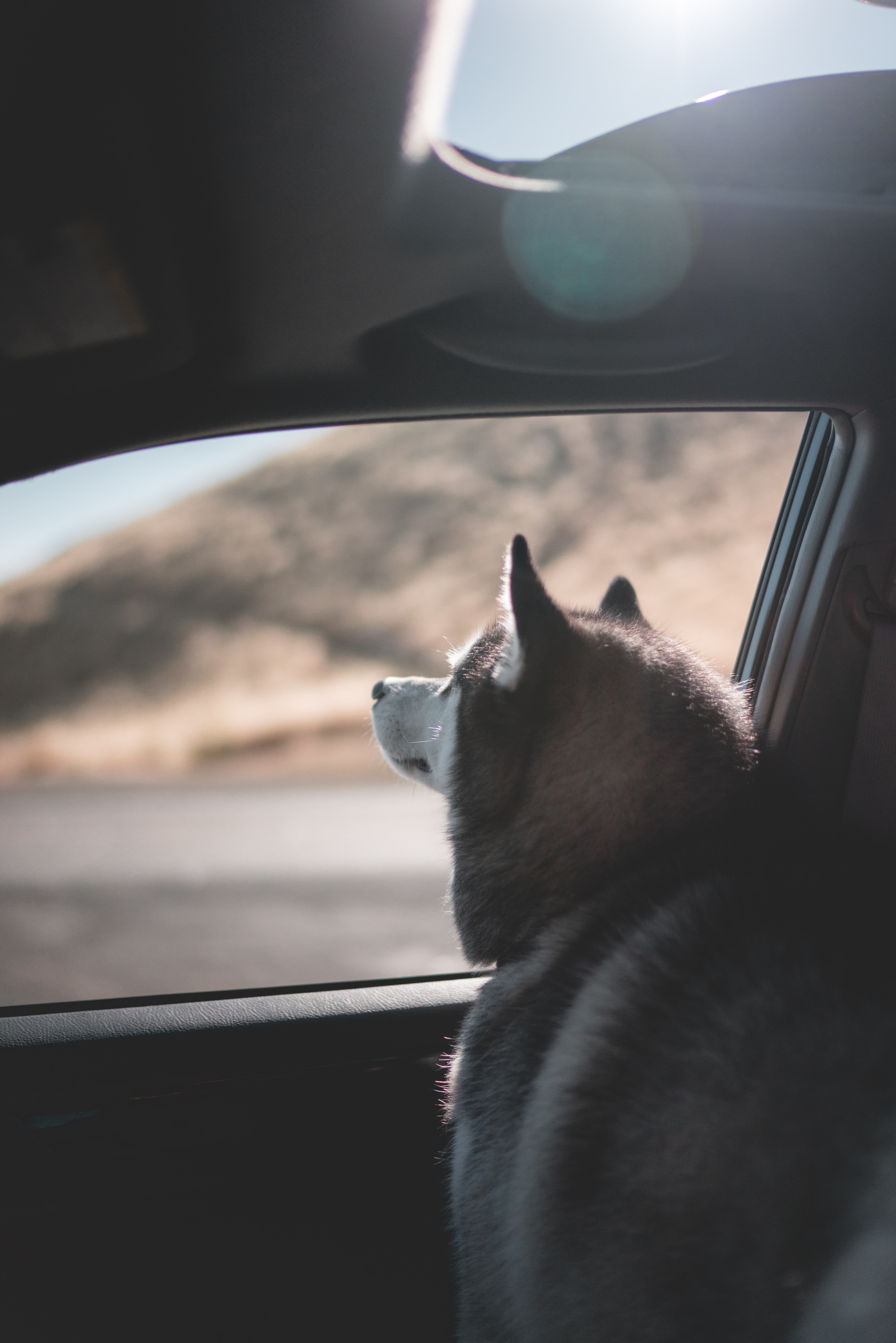 Siberian Husky looking outside the car