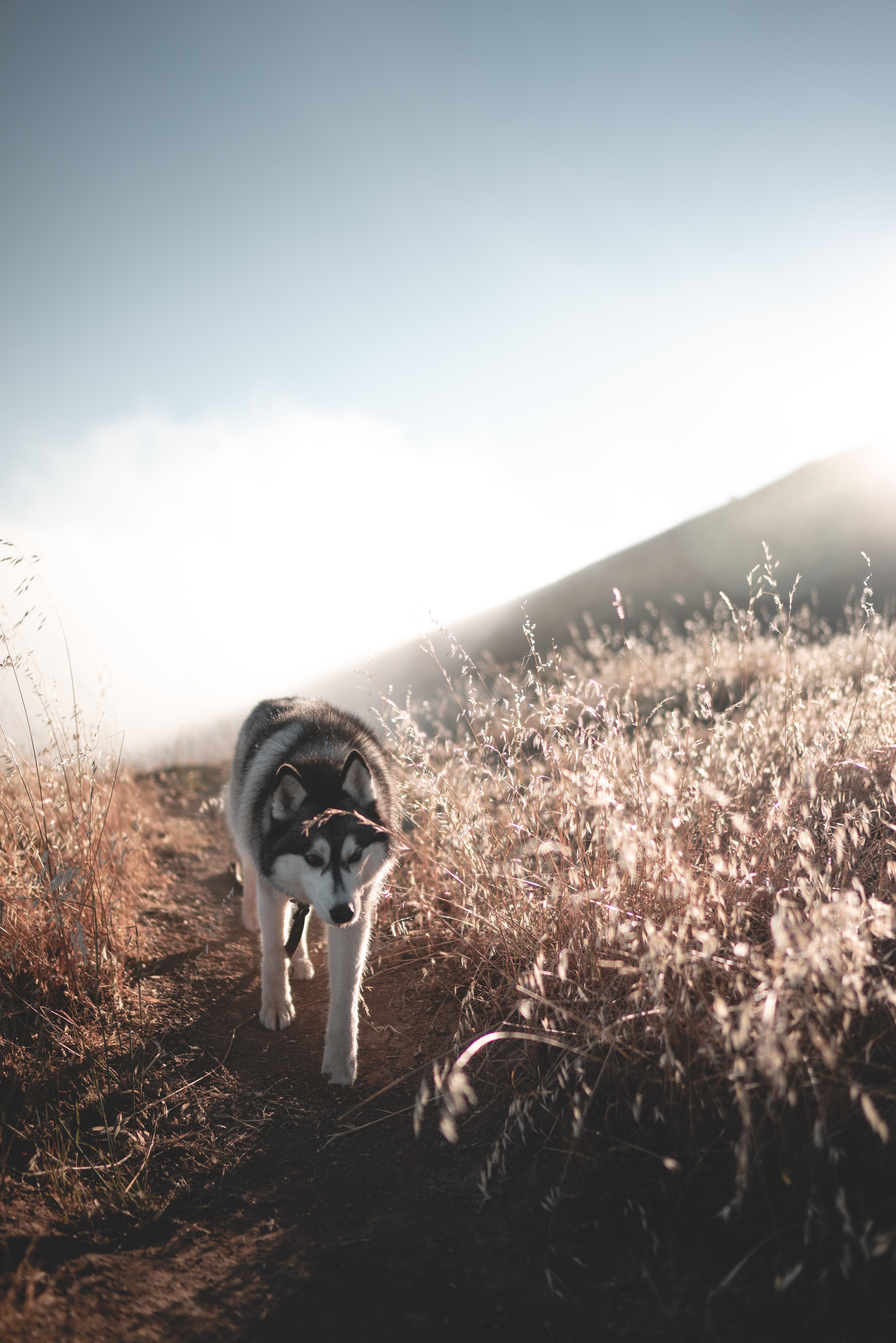 white Siberian husky walking at field
