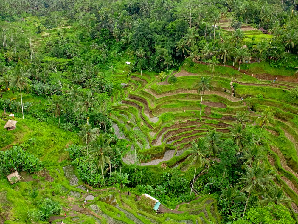 aerial photography of rice farm