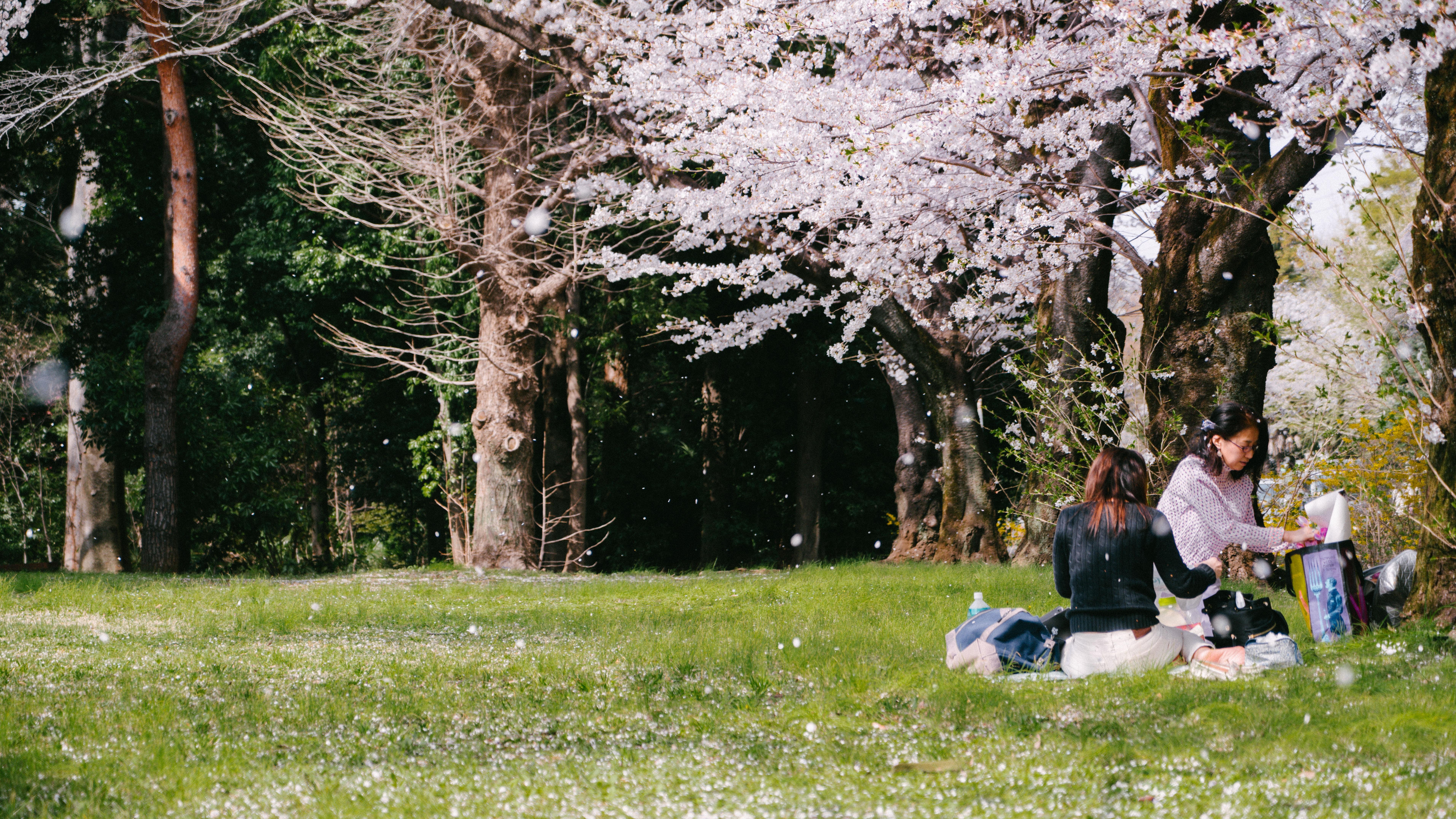 two women sitting under cherry blossom tree