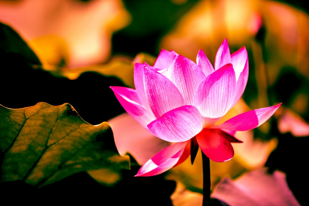 selective focus photography of pink lotus flower