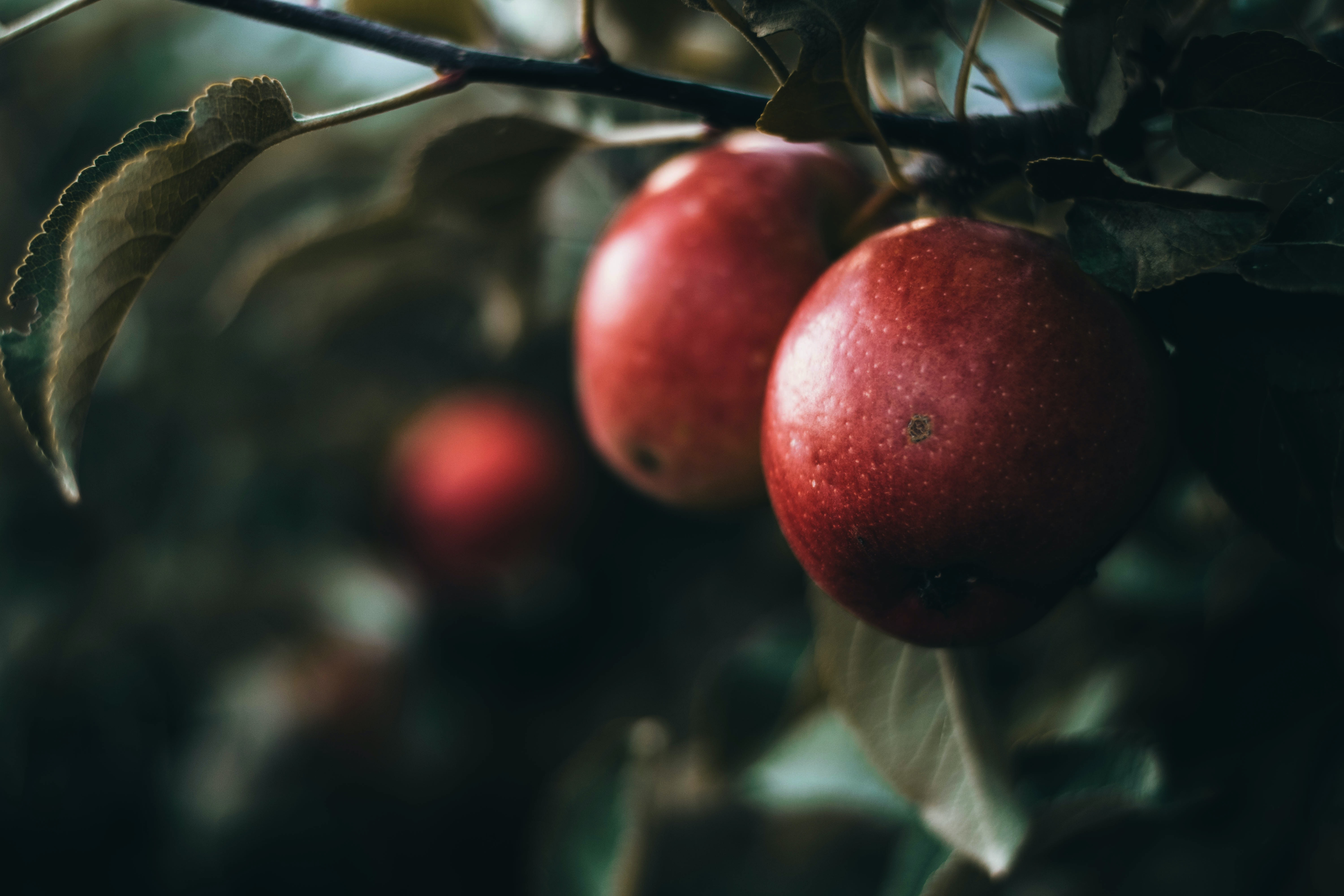 round red fruits on tree