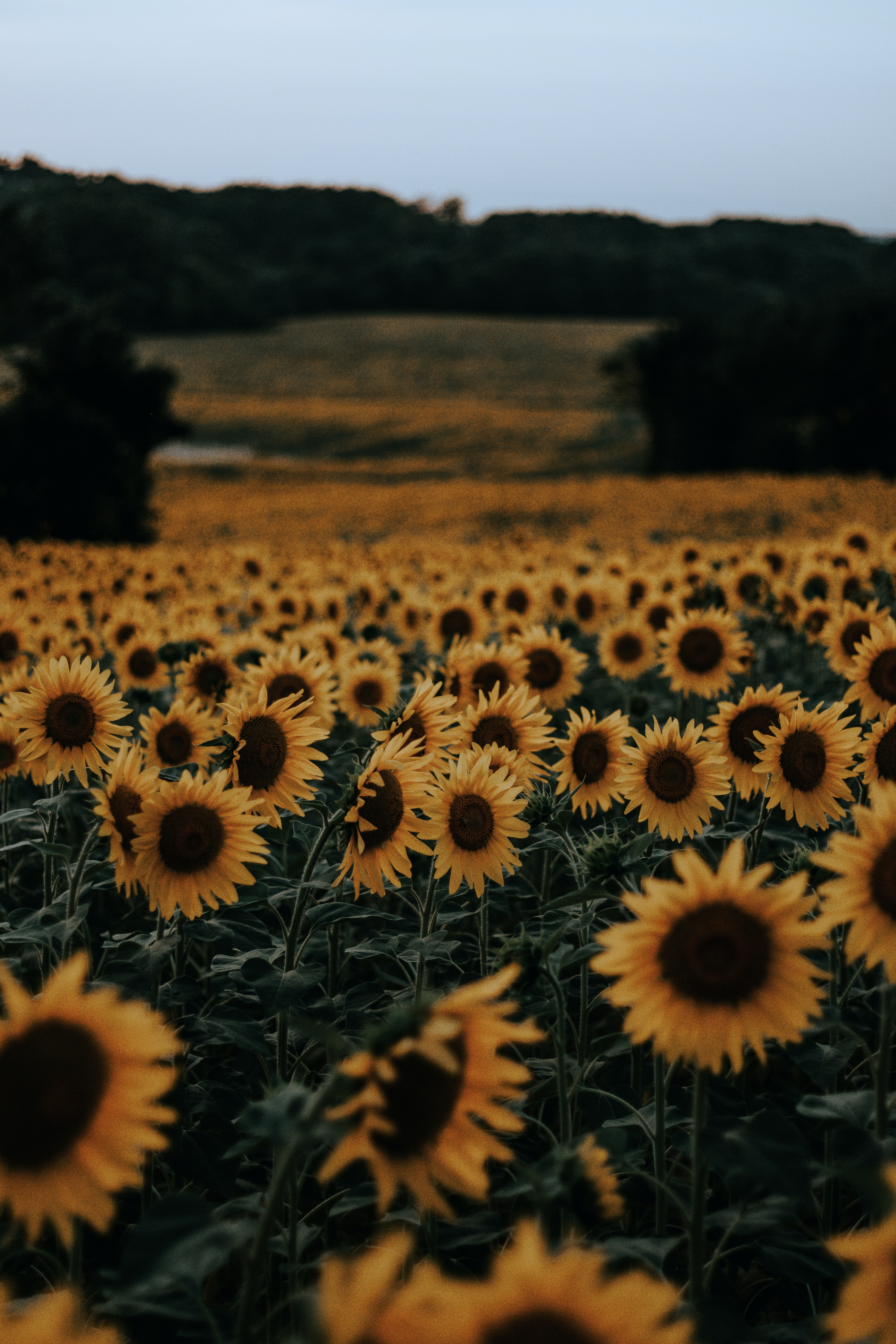 bed of sunflowers