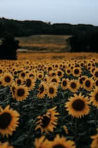 Life is a sunflower field sunflower stories