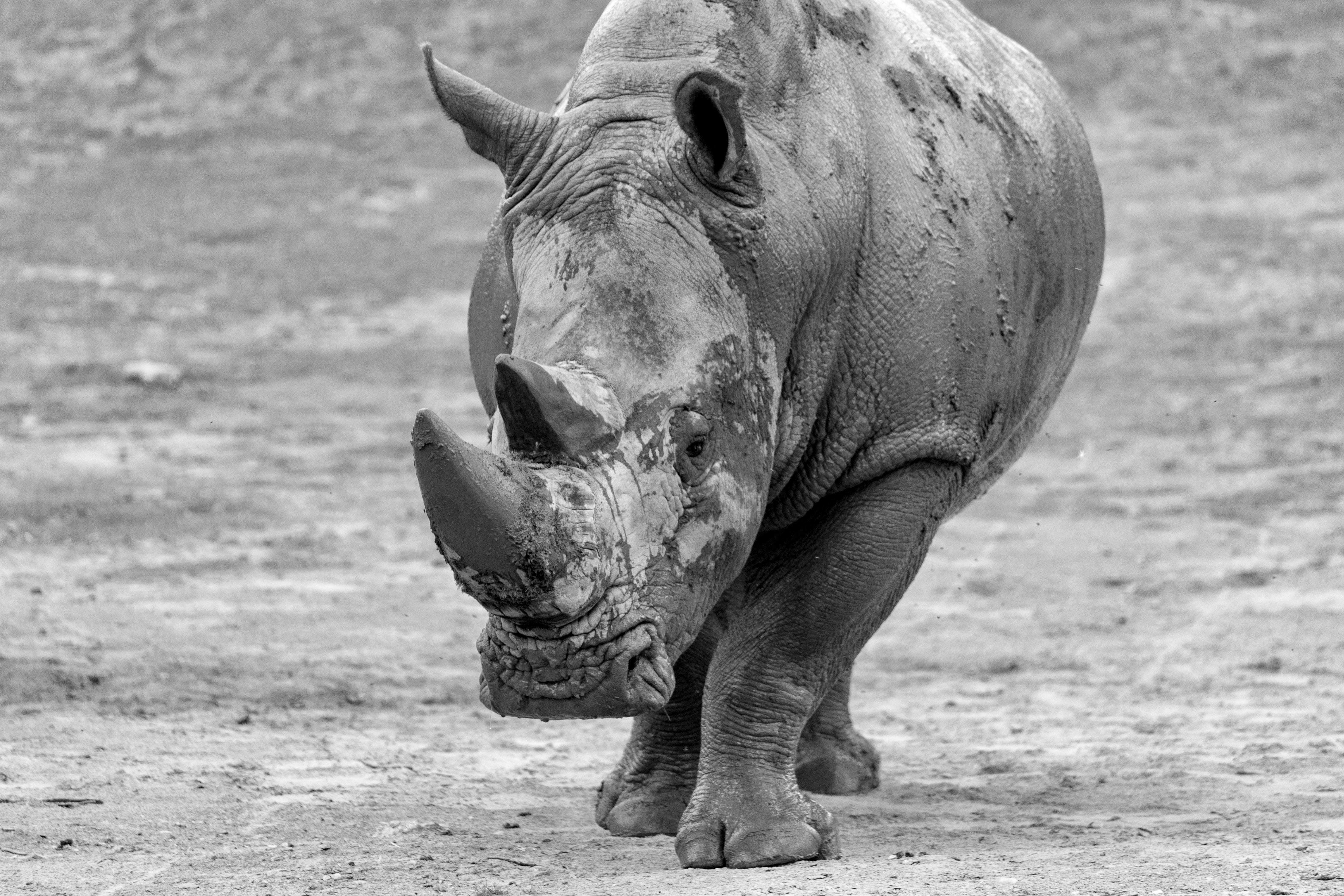 grayscale photography of rhinoceros