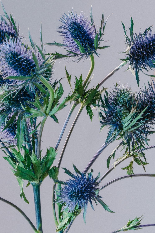 Flower plant studio and tetxure hd photo by sereja ris kimtheris purple spiky flower mightylinksfo