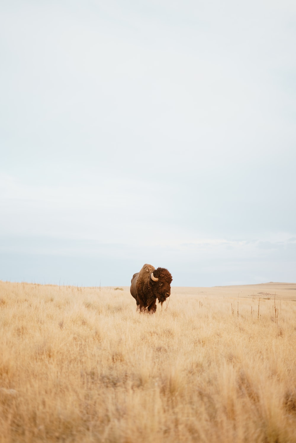 bison standing on brown field during daytime