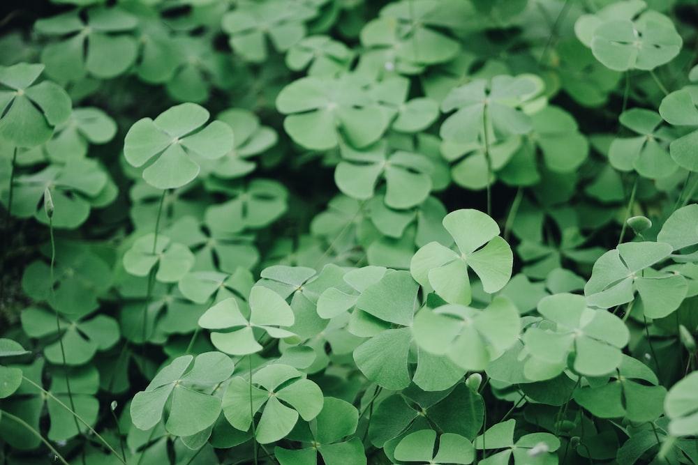 closeup photo of clover plant