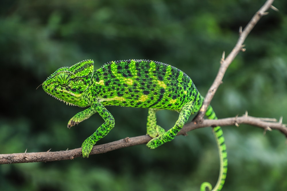 selective focus photography of green chameleon