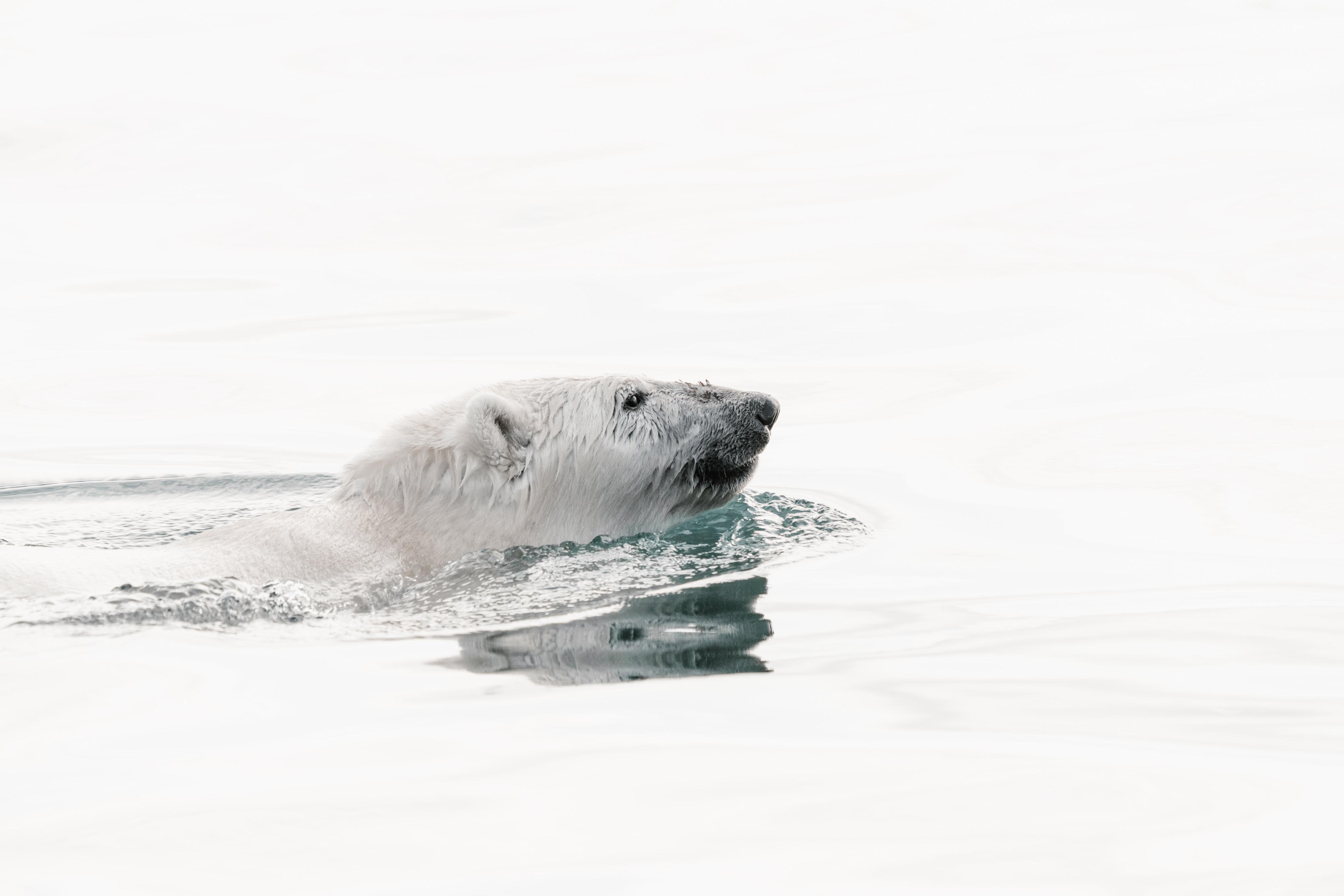 white polar bear swimming in water