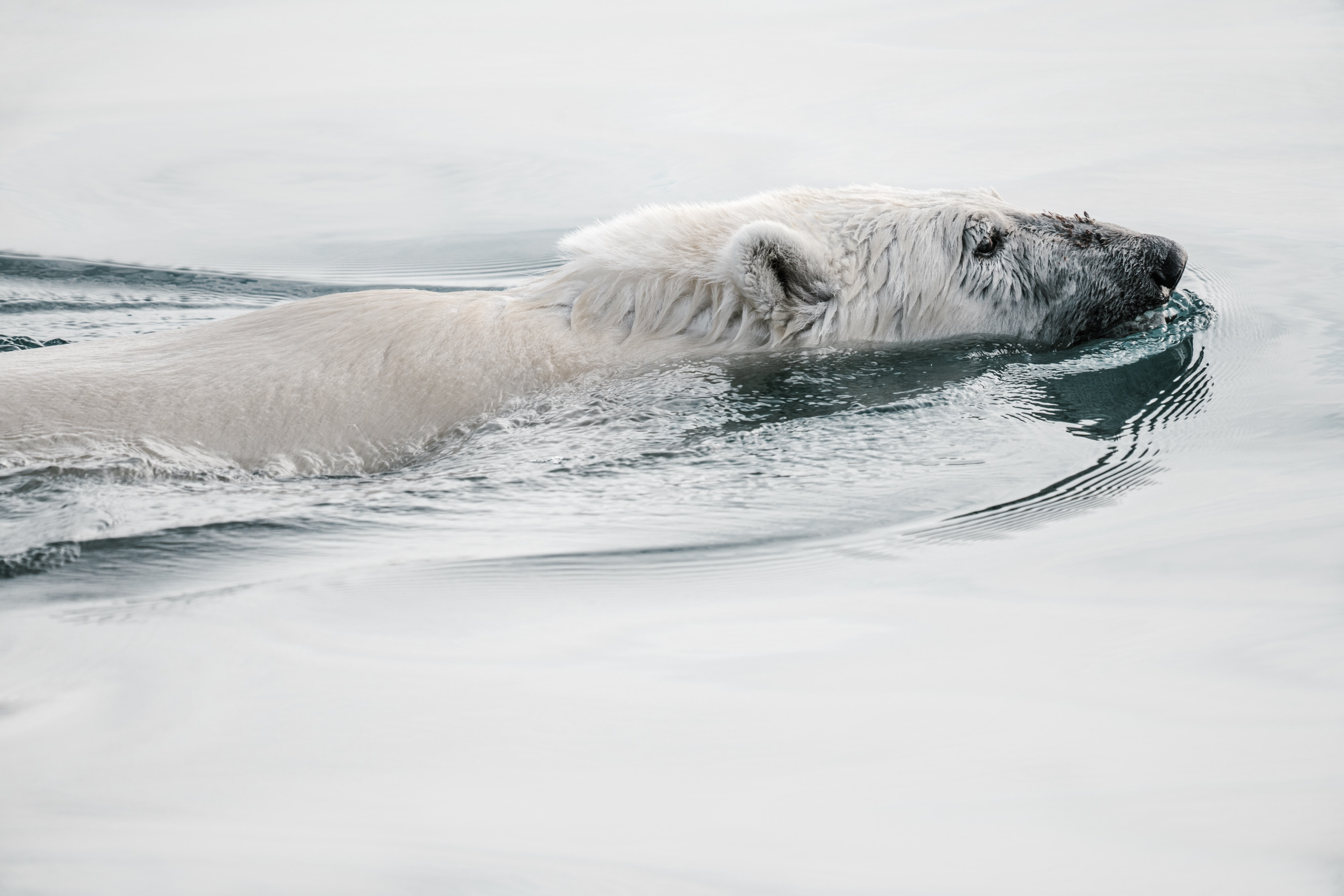 white polar bear on calm body of water