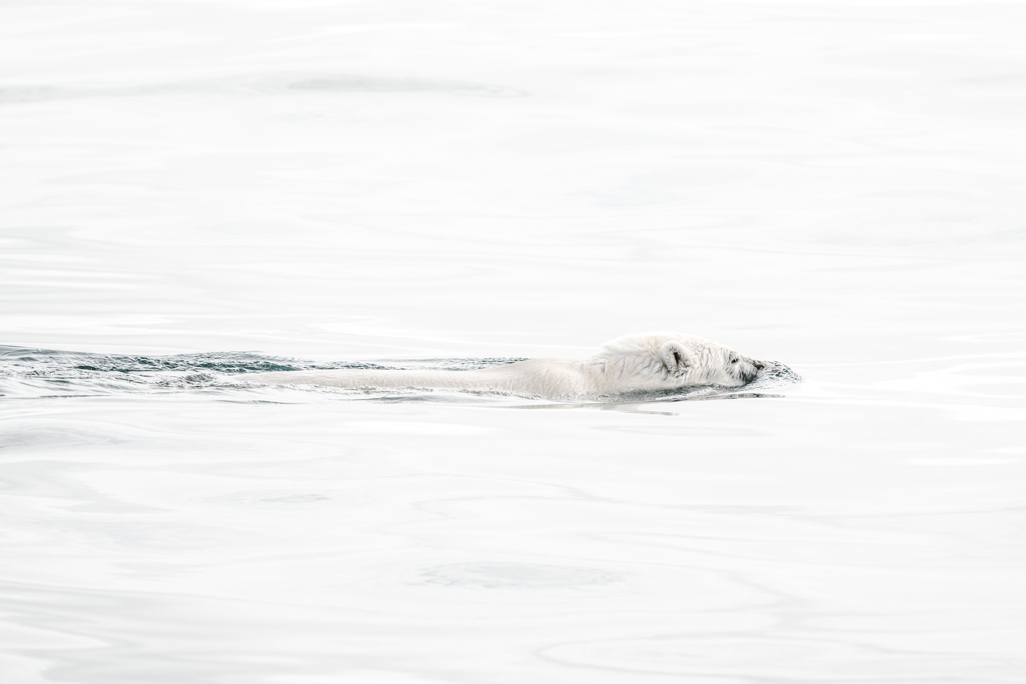 polar bear swimming on body of water