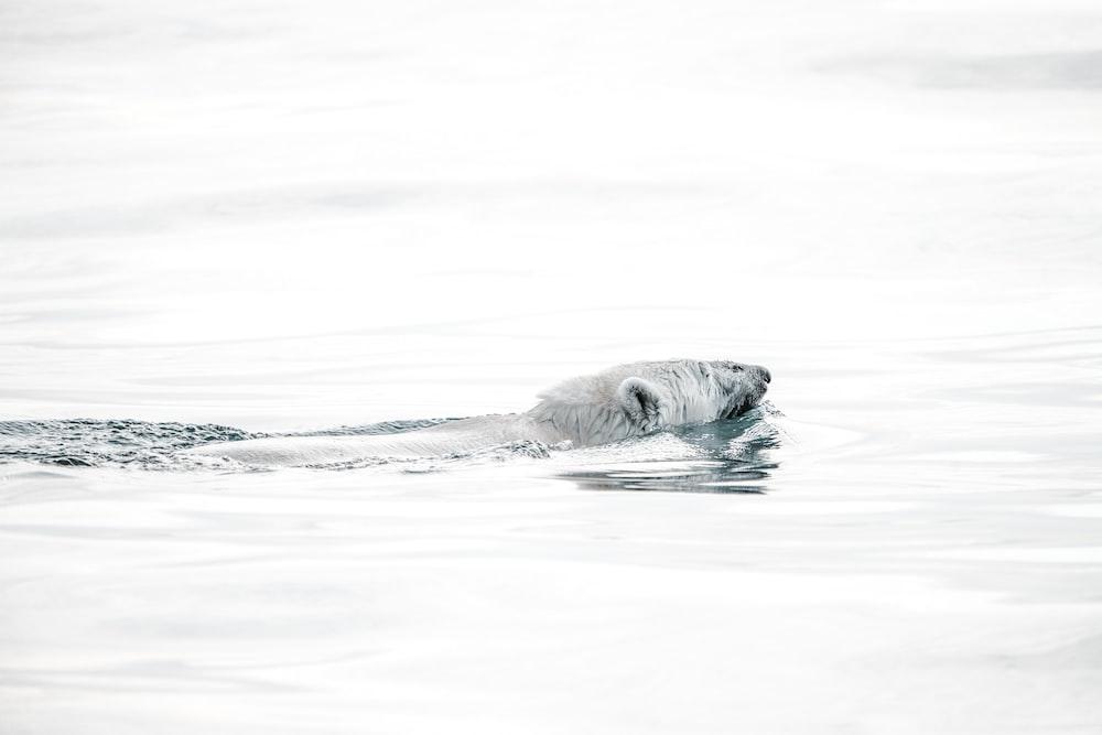 Polar bear swimming on body of water