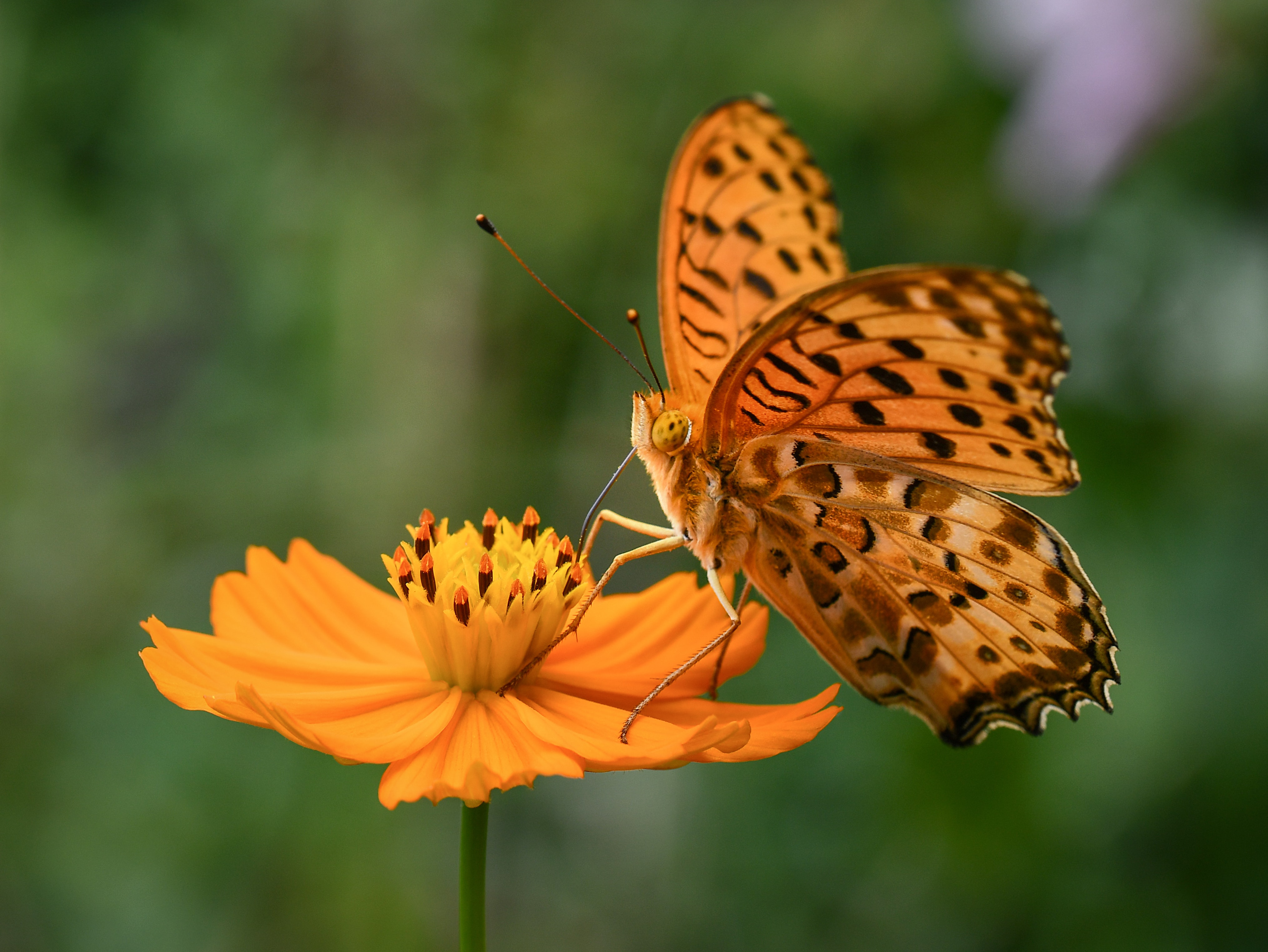 selective focus of butterfly on orange flower
