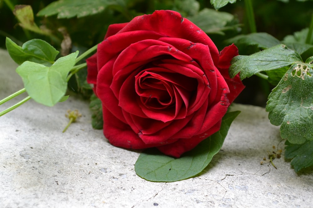 350+ Red-Rose Images [HQ] | Download Free Pictures on Unsplash