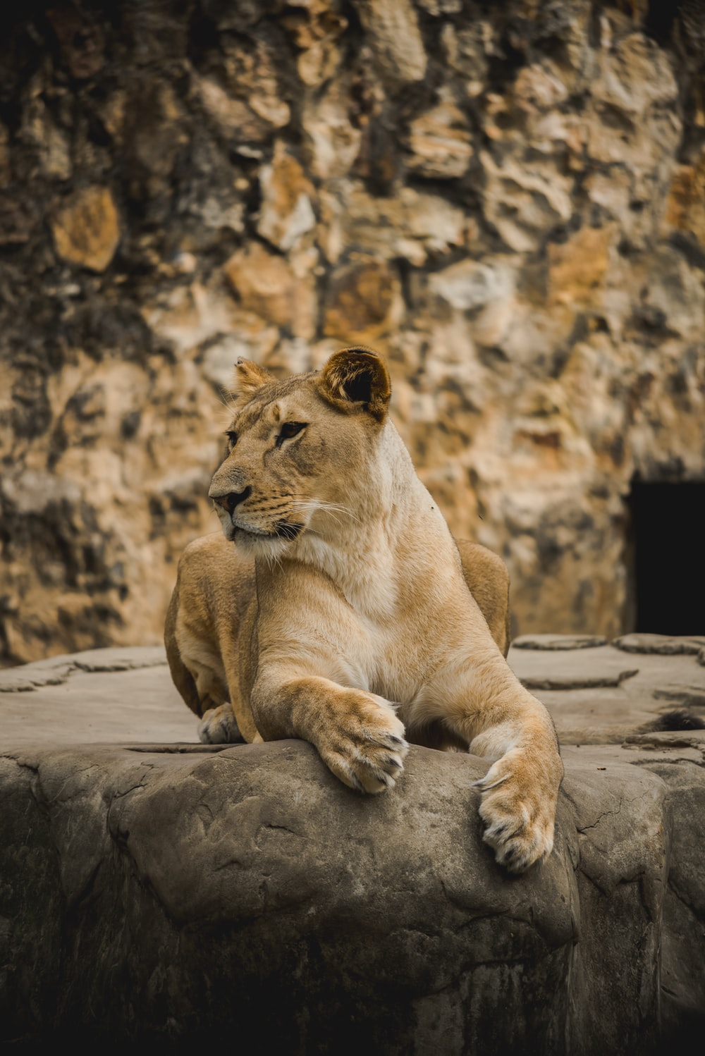 brown lioness sitting on gray rock