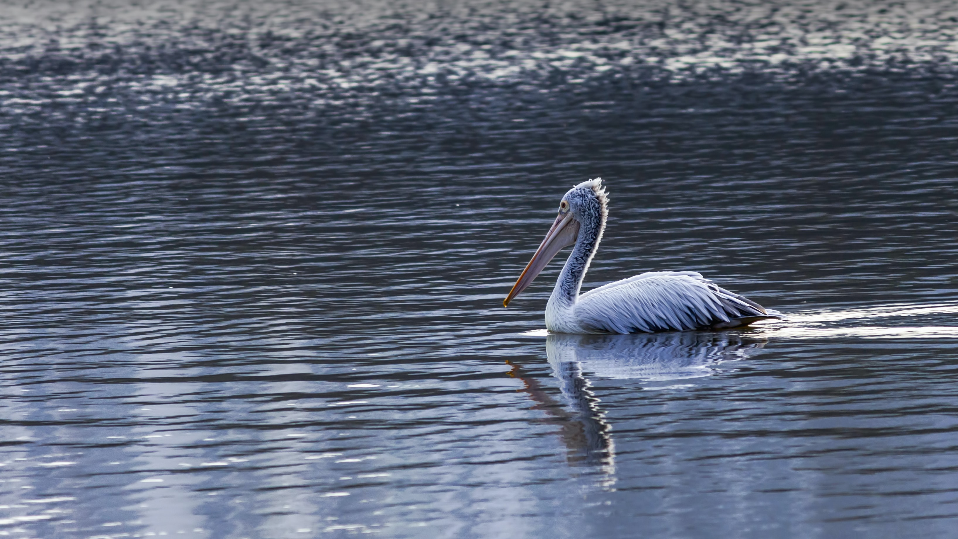 pelican on body of water during daytime