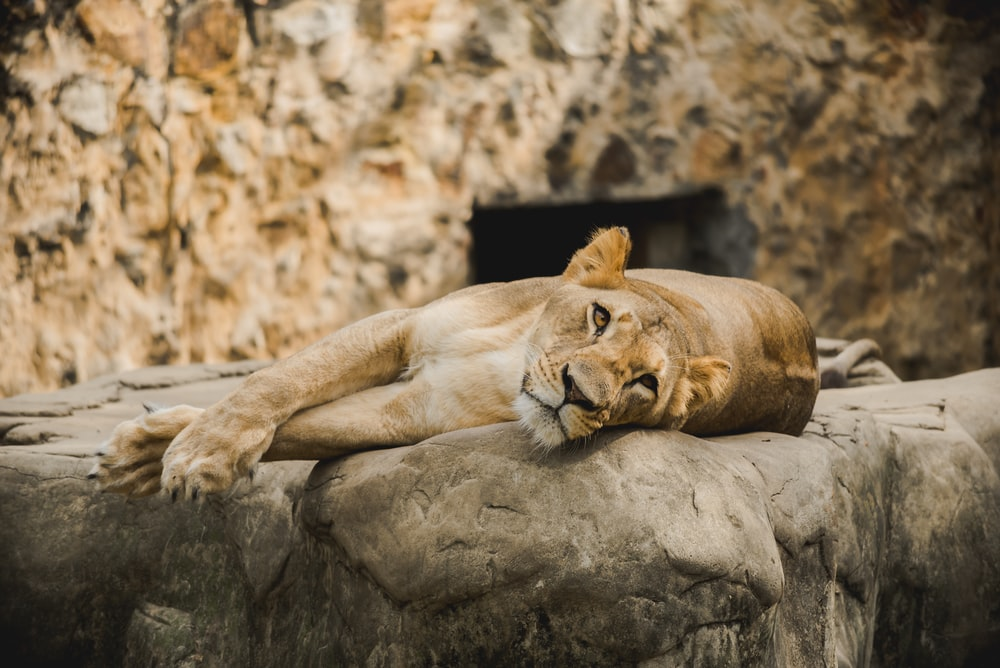 brown lion lying on gray rock