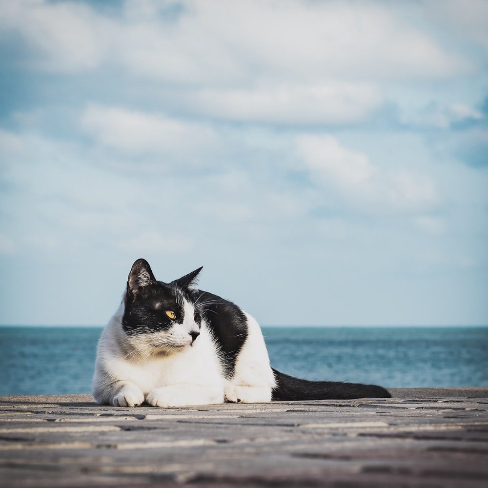white and black cat