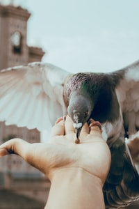 brown pellet on person's palm about to be eaten by pigeon