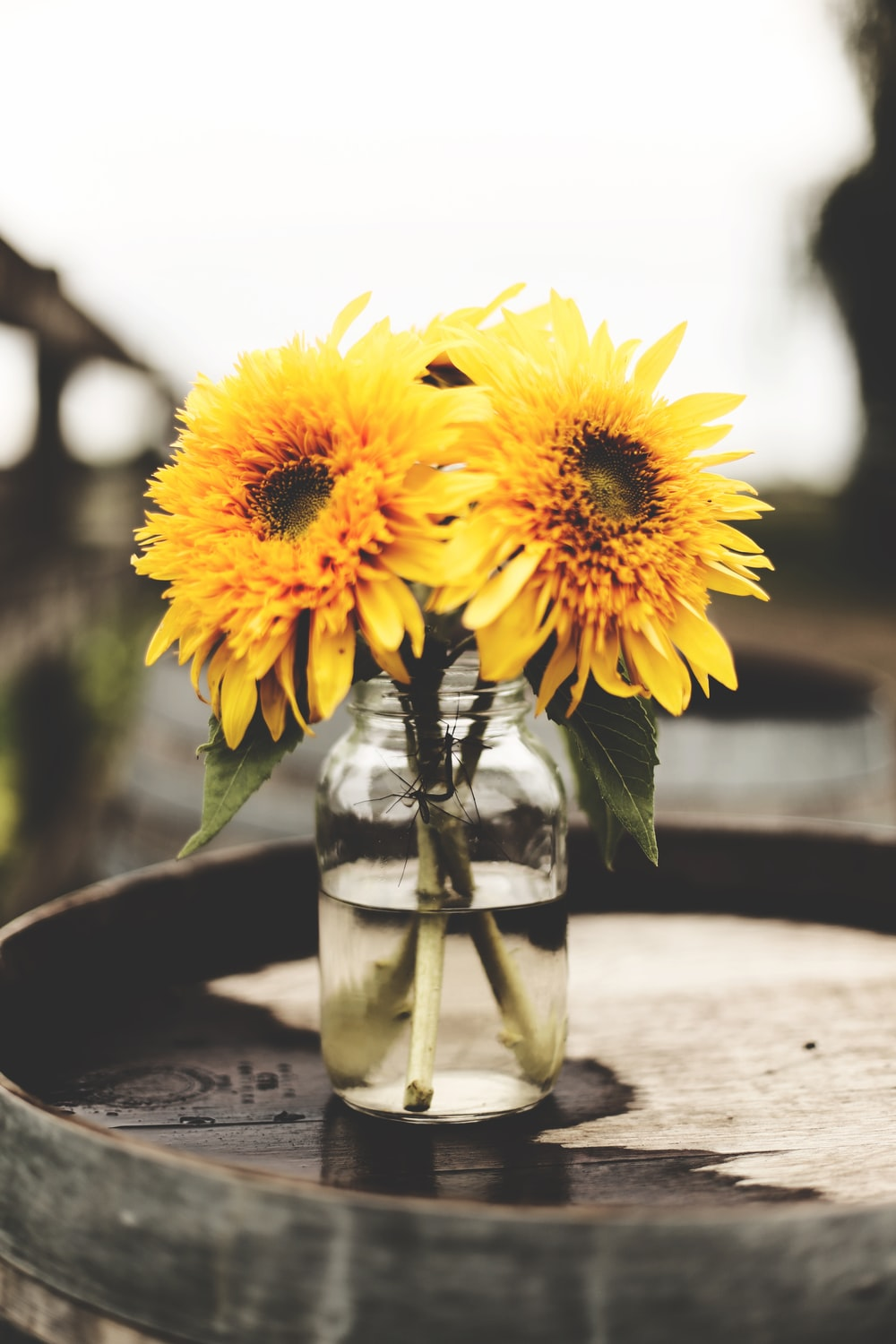 two sunflowers in glass vase with water