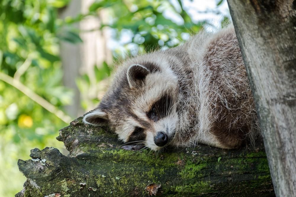 raccoon lying on treelog