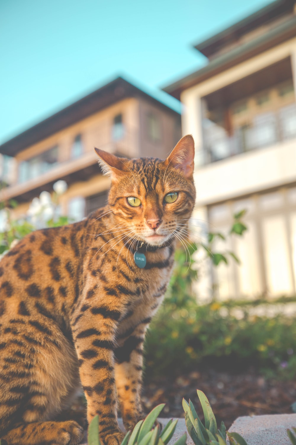 brown and black spotted cat