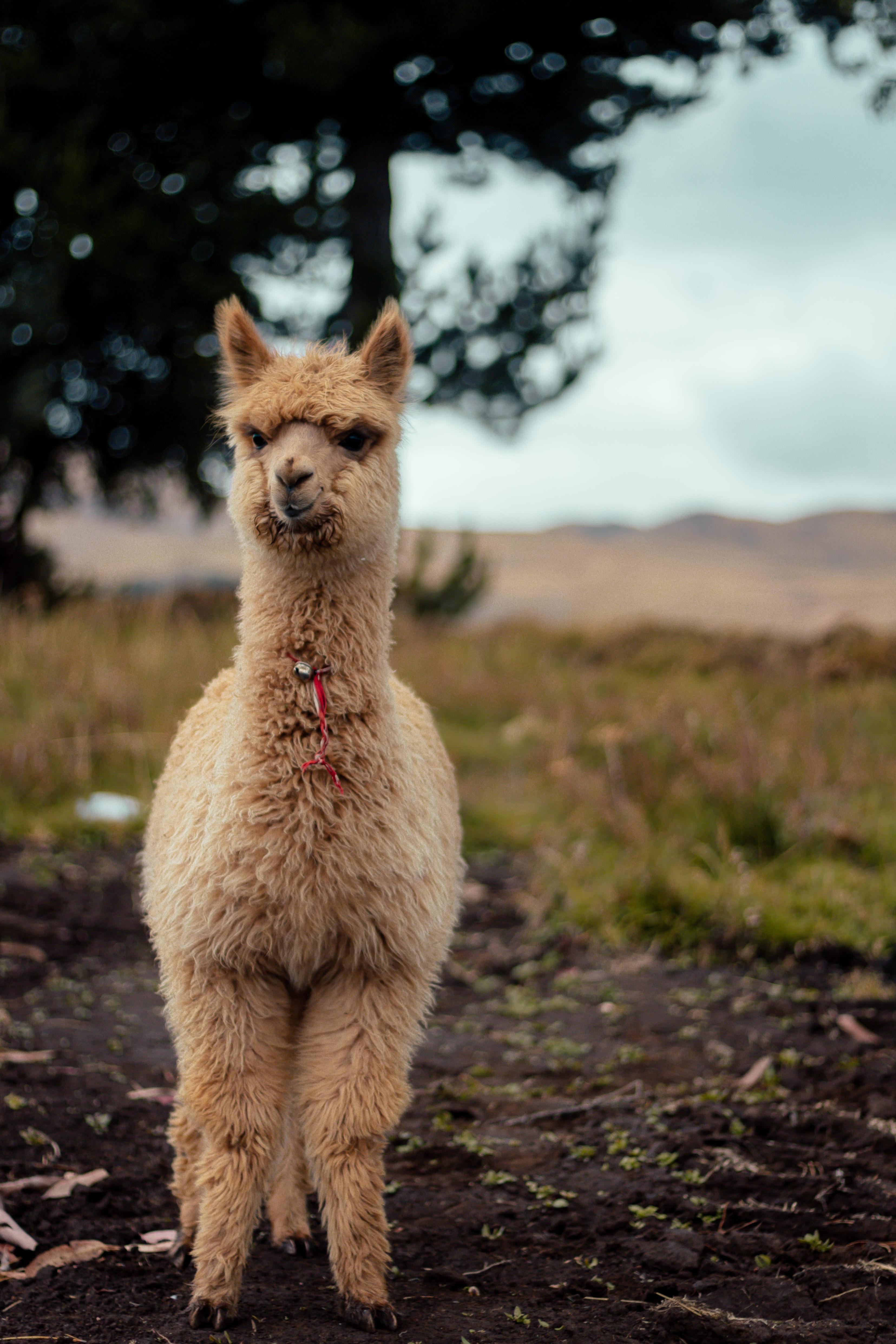 lama standing on brown soil
