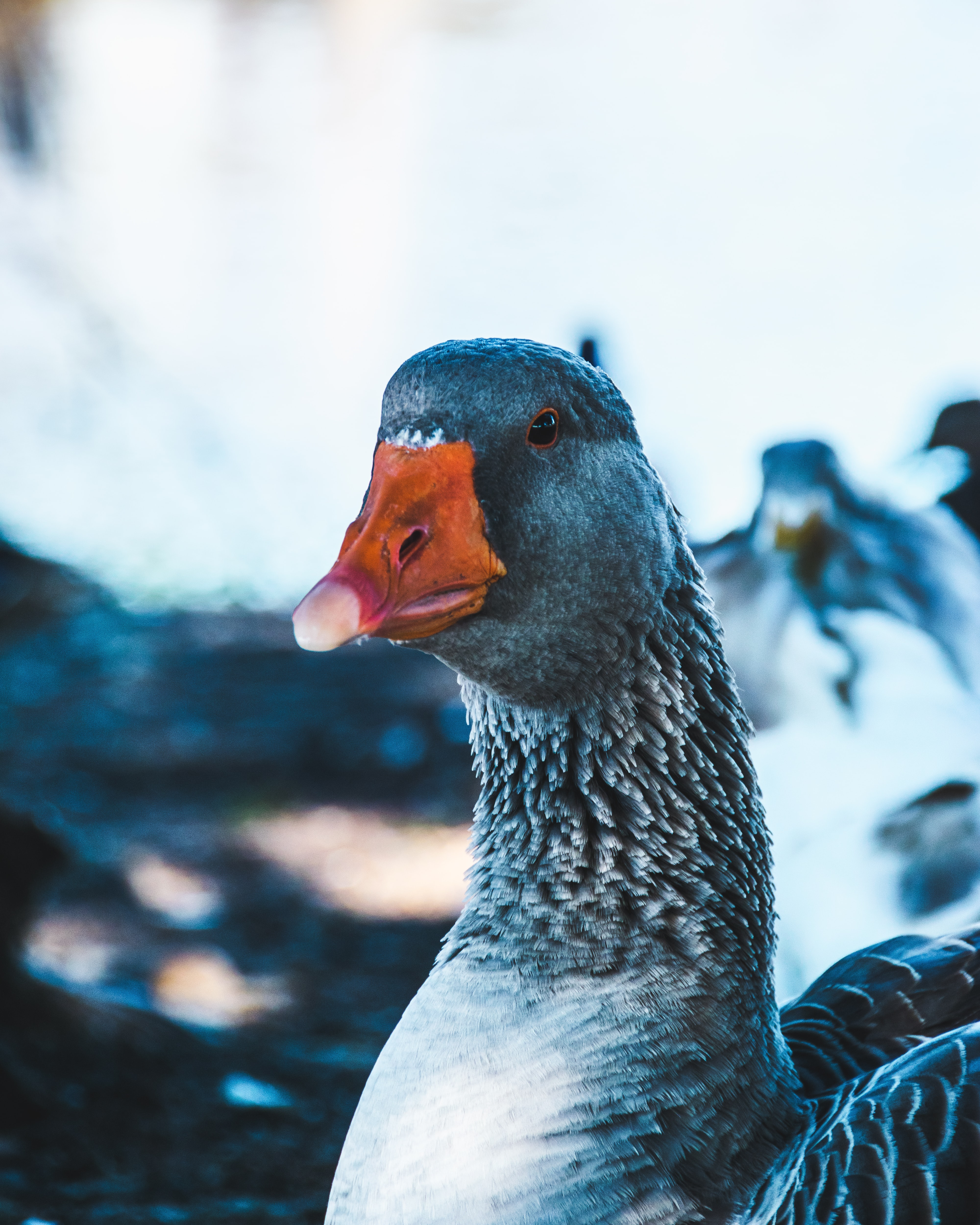 close-up photography of gray duck
