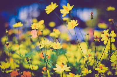 bed of yellow petaled flowers