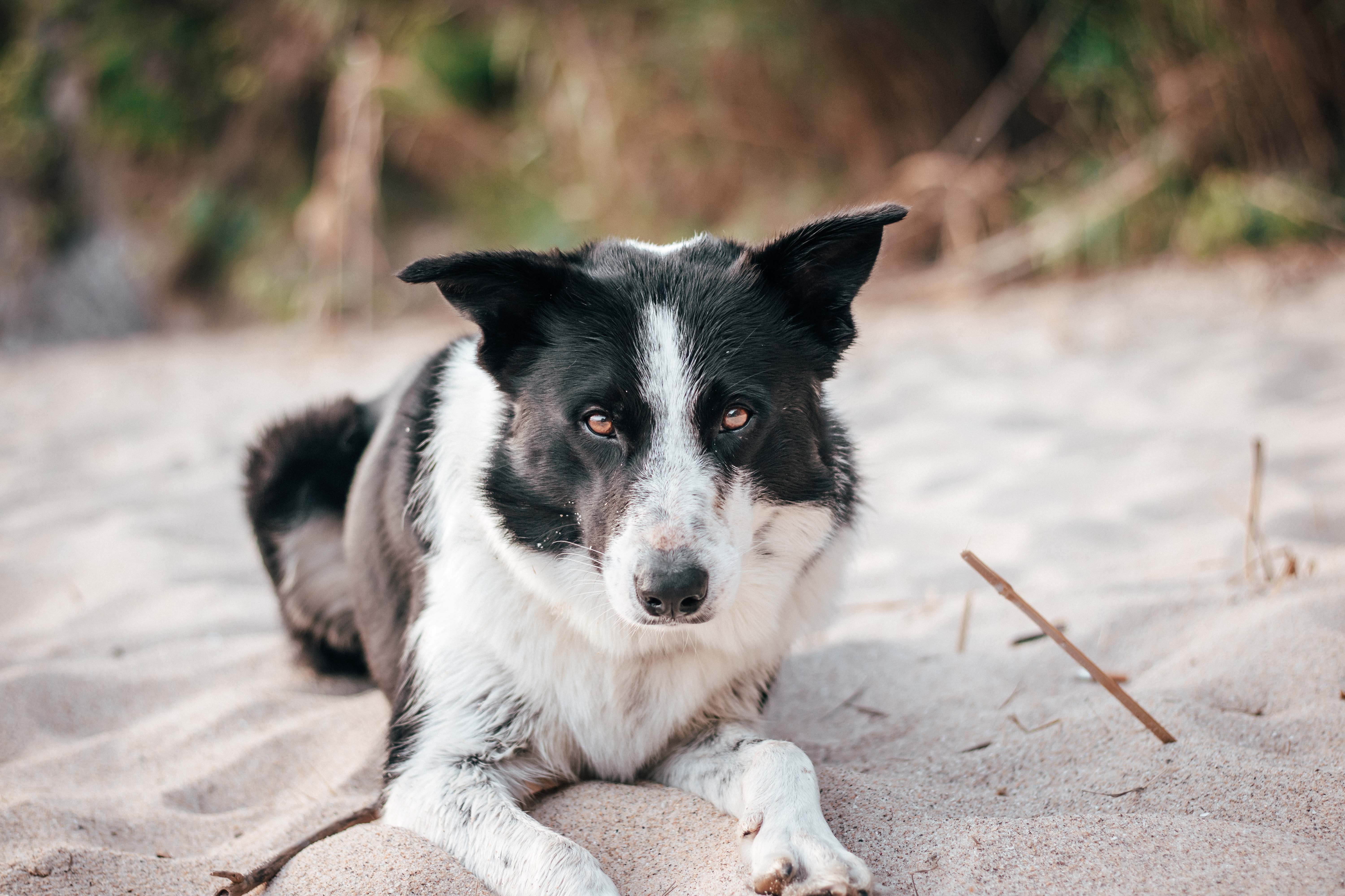 adult black and white border collie lying on sand