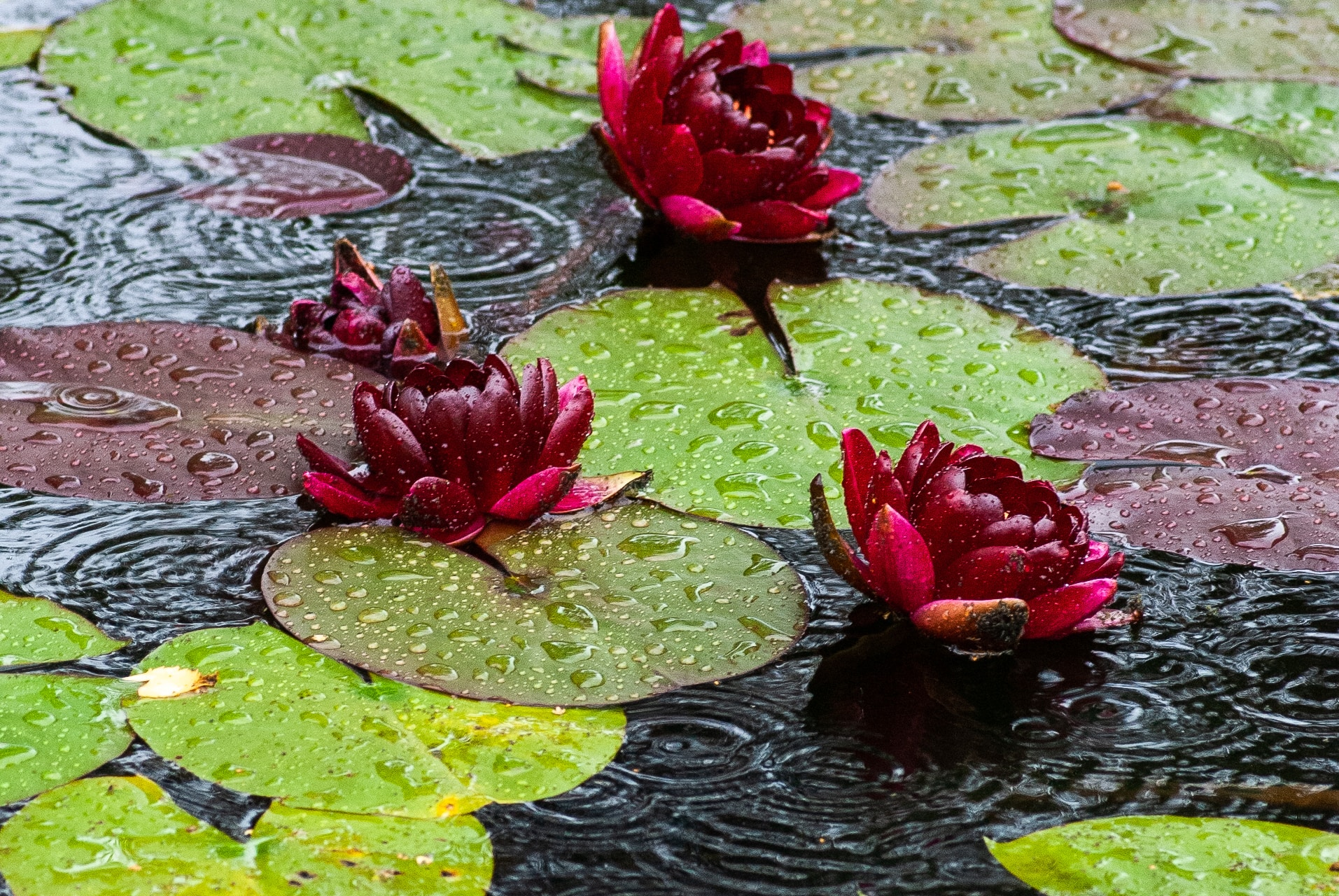 three purple flowers on body of water during rain