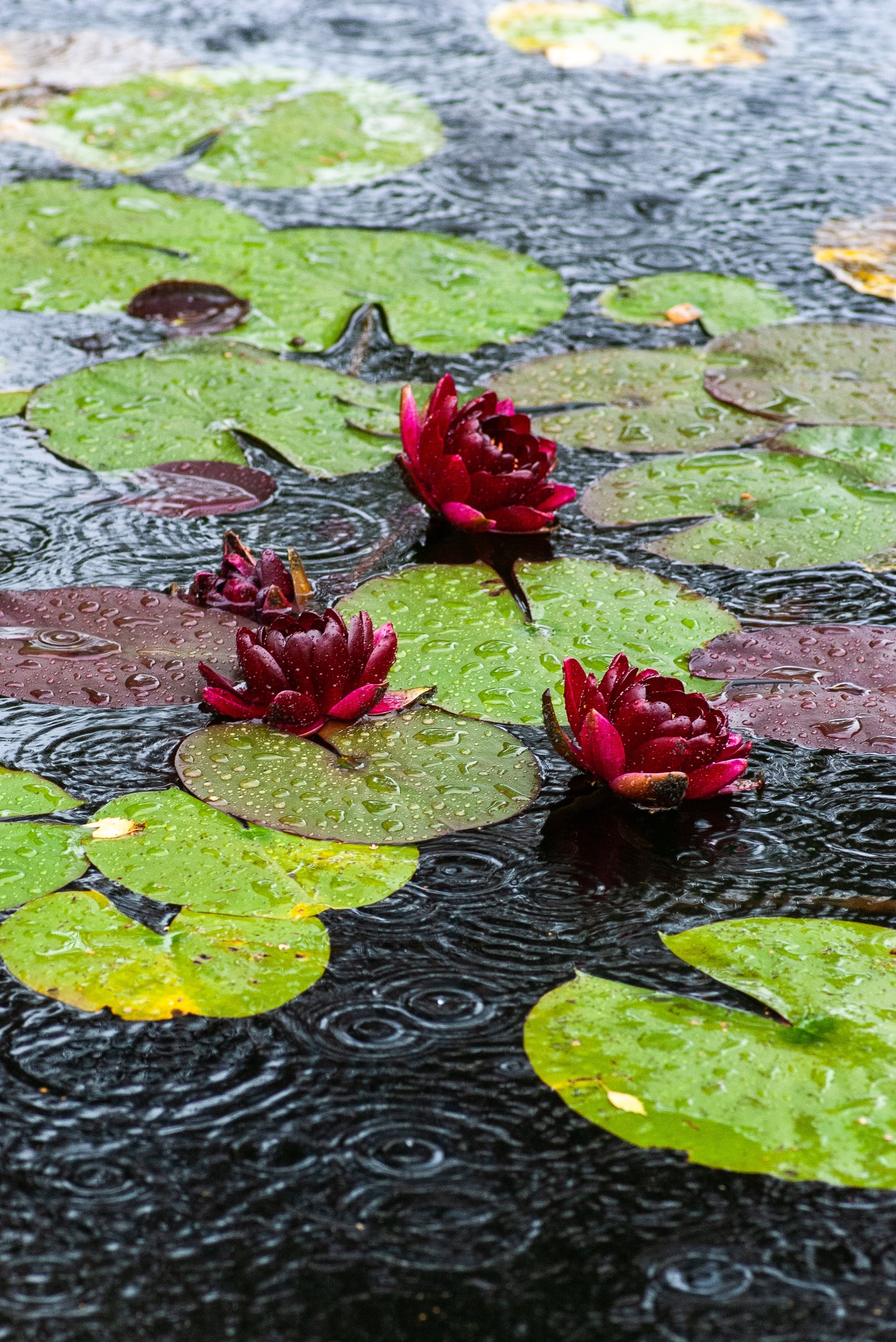 three purple flowers on body of water during rain
