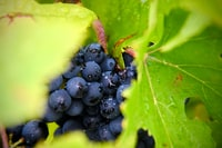 selective focus photography ofpurple grapes