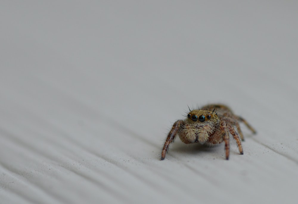 brown jumping spider on white surface
