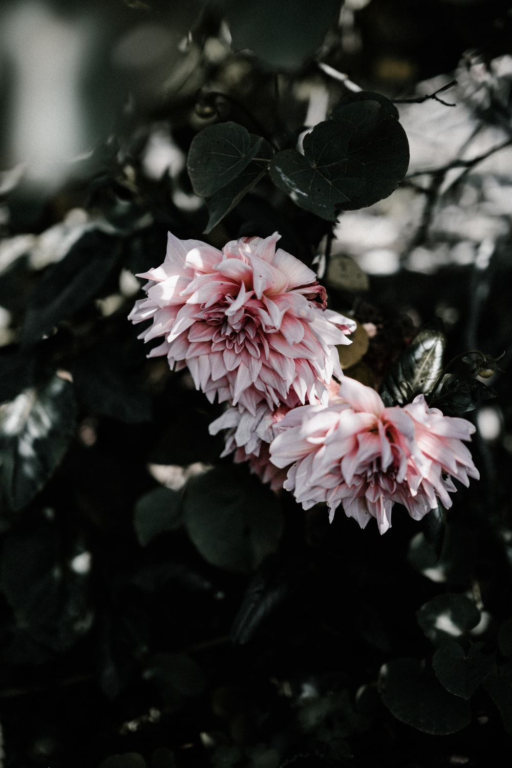Dahlia flower pictures download free images on unsplash white and pink flowers izmirmasajfo