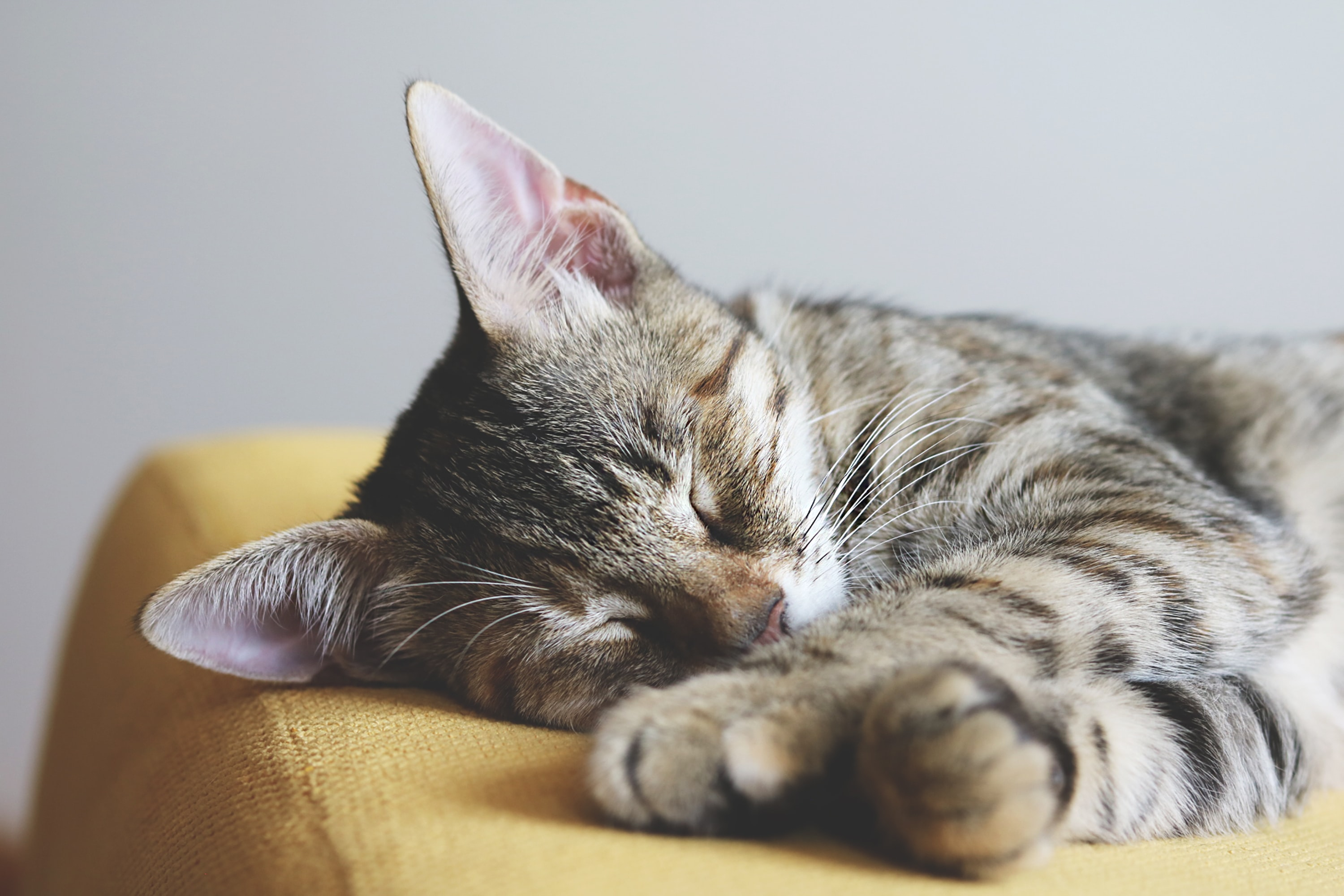 short-furred brown cat sleeping on yellow textile
