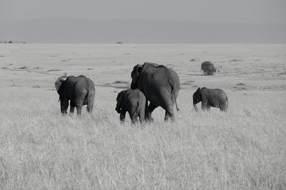 grayscale photo of four elphants