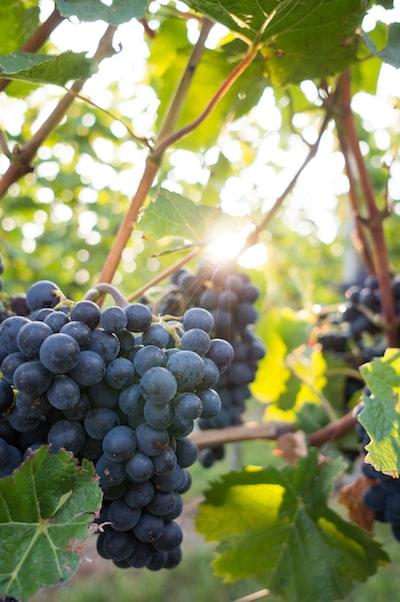 4664. Bor,szőlő, borászatok