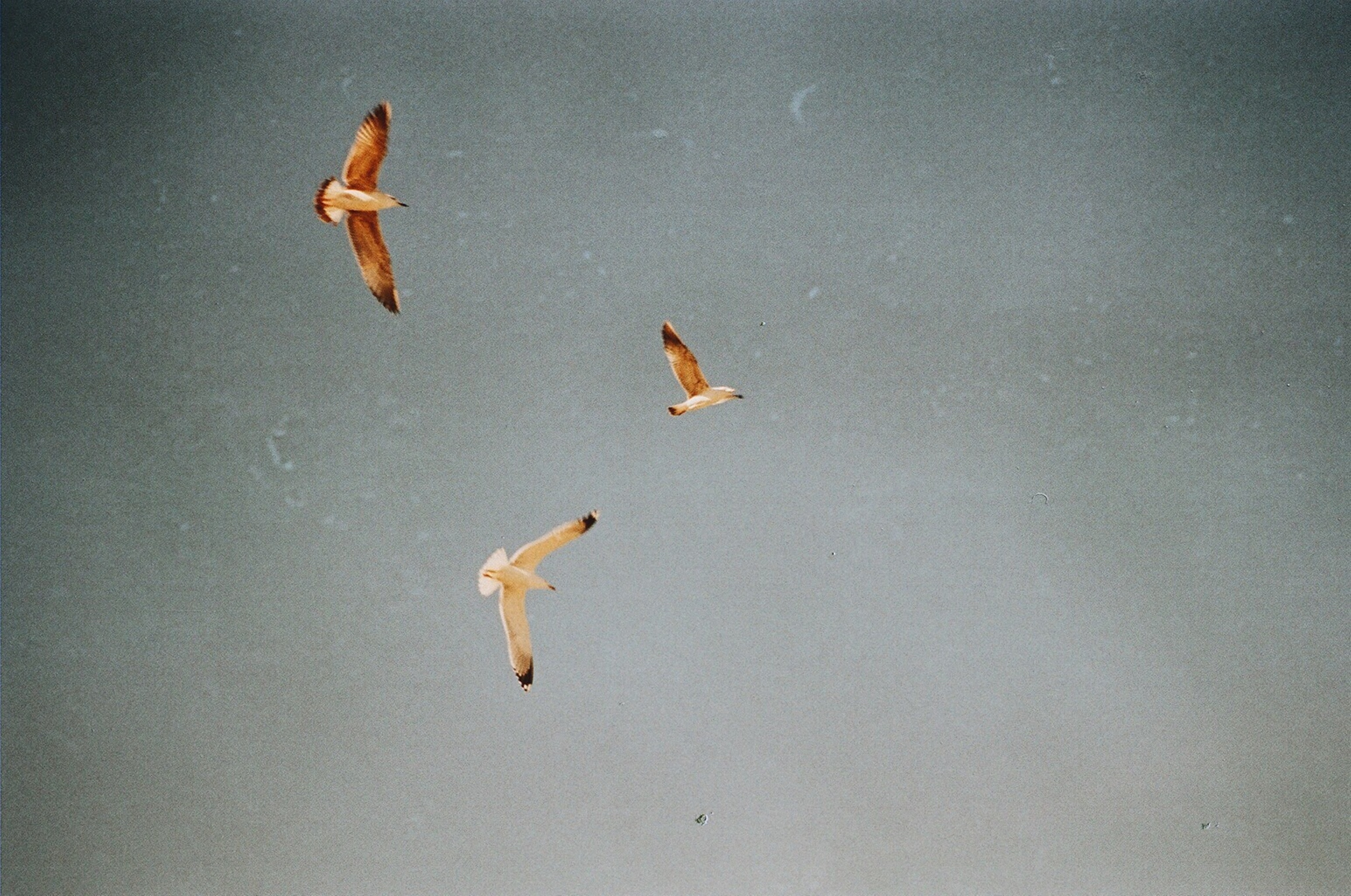 three white-and-brown birds flying on air