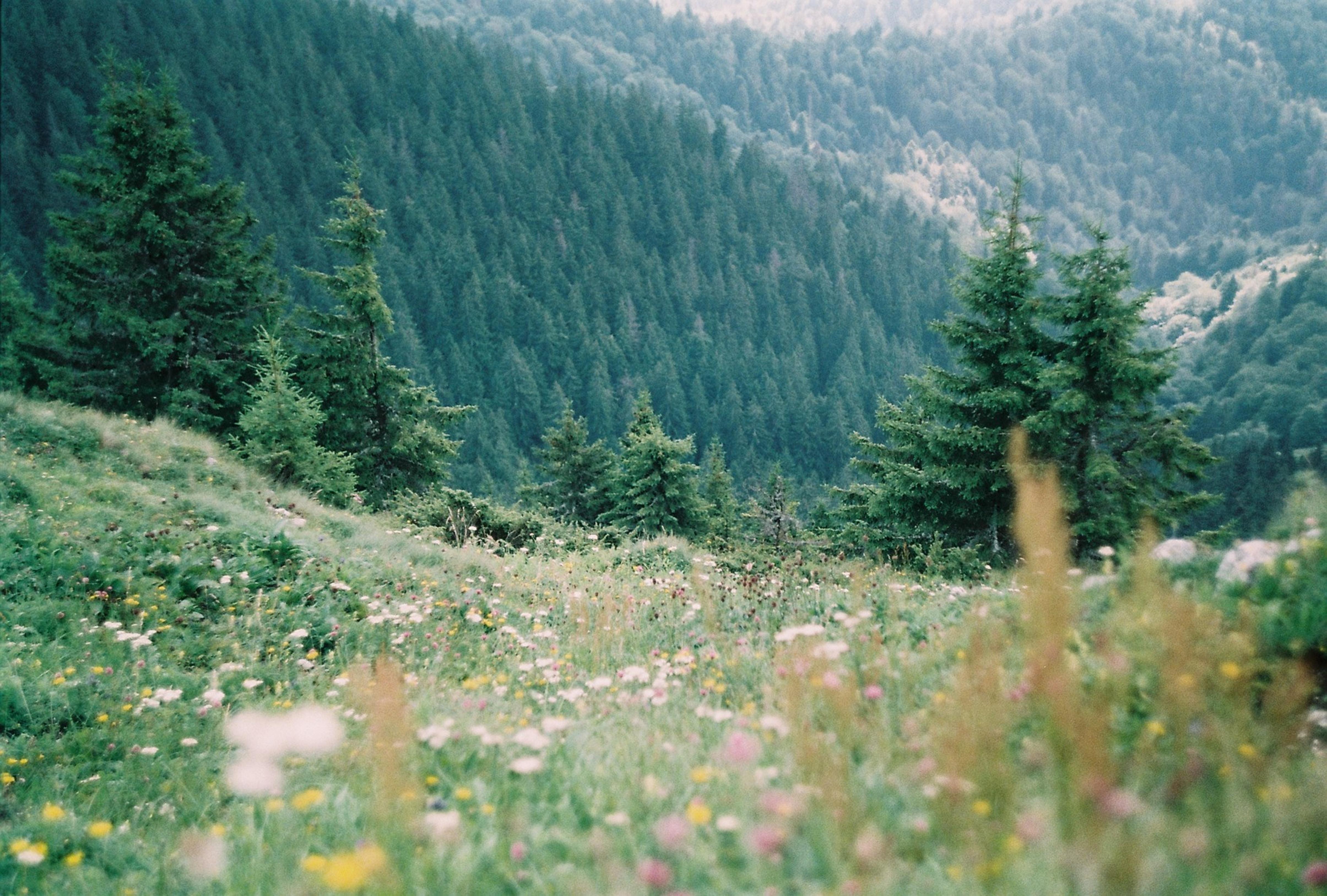 flower field near green pine trees